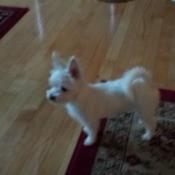 small white dog