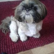 black and white Shih Tzu