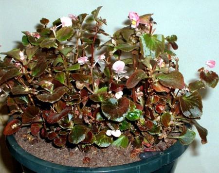 wax begonia in flower pot