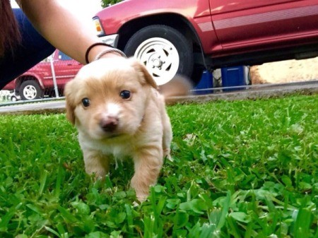 light tan puppy