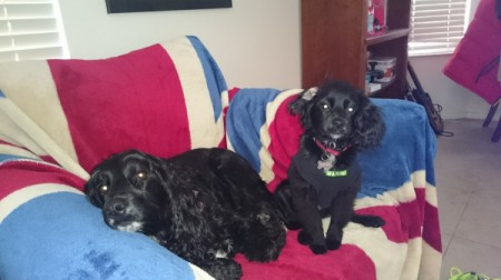 on couch with another black dog