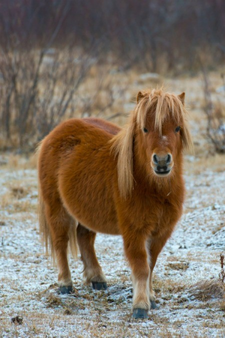 pony in lightly snow covered field