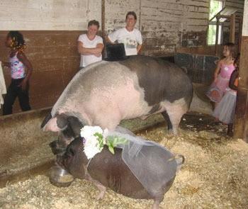 Pig Wedding