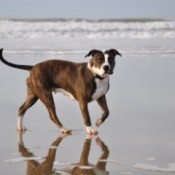 Figa (Dog)