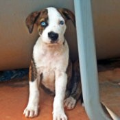 brown and white puppy with blue eyes, sitting