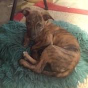 brindle puppy lying on a rug