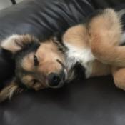 closeup of dog lying on its back
