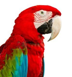Pet Macaw