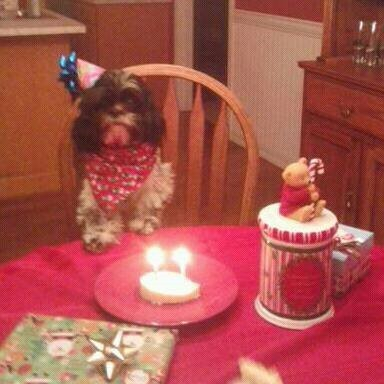 Sir Domino (Shih-Tzu) - wearing a birthday hat and bib, sitting at a birthday table.
