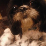 Sir Domino (Shih-Tzu) - Black and white spotted dog.