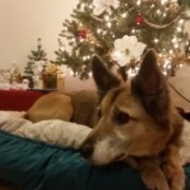 dog in bed near Christmas tree
