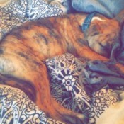 brindle puppy sleeping