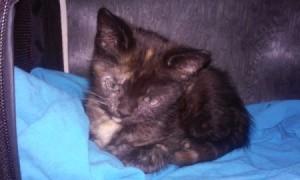 tordie kitten