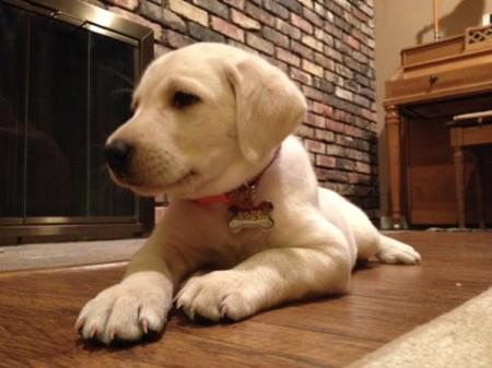 Khaleesi (Labrador Retriever)