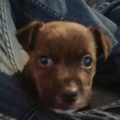reddish brown puppy