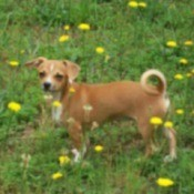 dog among dandelions