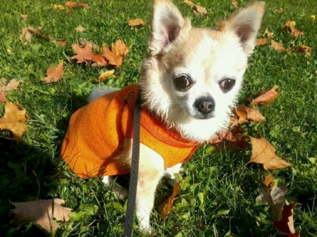 A longhaired chihuahua outside with leaves on the ground.