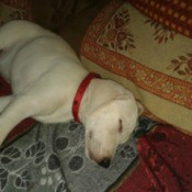 sleeping white puppy with red collar