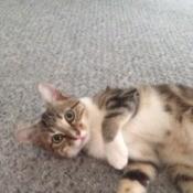 large kitten