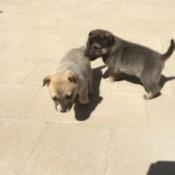 tan puppy and dark brownish grey puppy