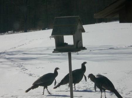 Turkeys Visit Birdfeeder