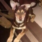tan and brown dog