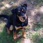 black and tan dog sitting in yard