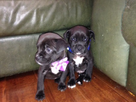 two black puppies