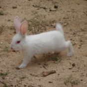 A white rabbit on a dirt background.