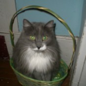 grey and white long hair cat in Easter basket