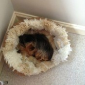 Yorkie in dog bed