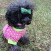 black poodle wearing a pink sweater with green polka dots