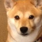 closeup of Shiba Inu