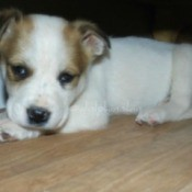 side by side photos of brown and white puppy