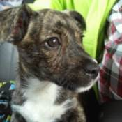 puppy with brindle coloration and white on neck