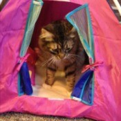 Tabby cat siting inside a pink cat tent.