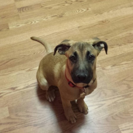 brown puppy with black markings