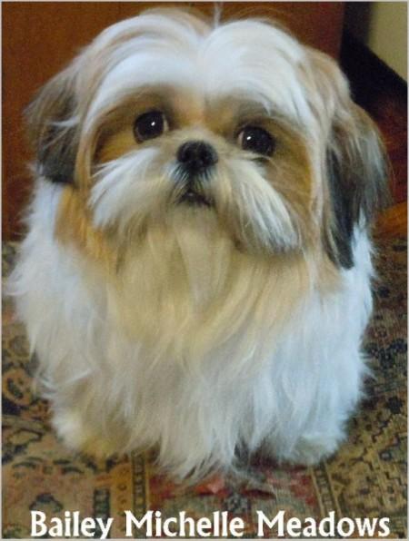 Closeup of Bailey a Shih Tzu with long hair.