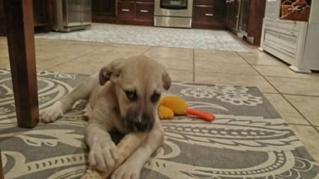 tan puppy with dark marking