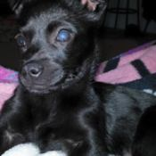 partially blind black puppy