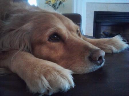 Bailey (Golden Retriever)