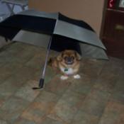 A small dog under an umbrella inside.
