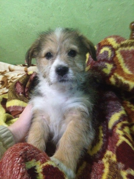 wiry tricolored puppy