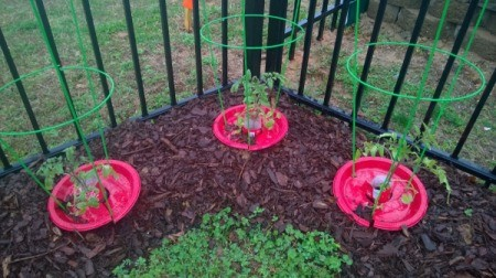 Protecting Tomato Plants when Planting