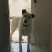 light color dog in doorway