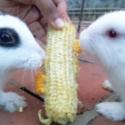 Miffy and another rabbit eating corn on the cob