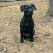 black dog outside