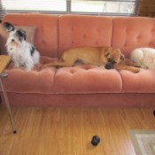 three dogs on couch