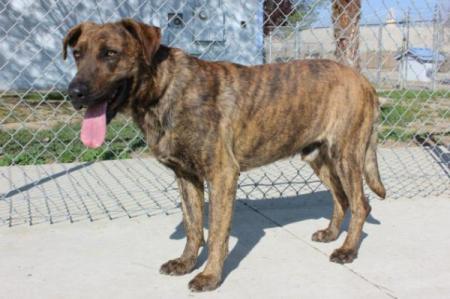 large brindle dog