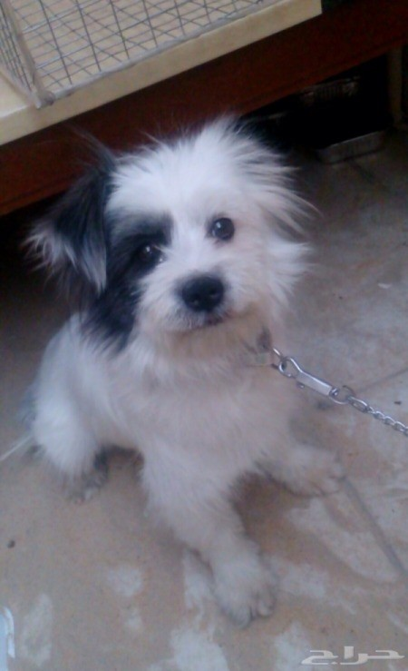 fuzzy white puppy with black on face and ears